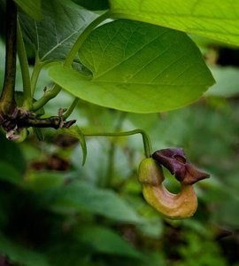 Dutchman's Pipe (Aristolochia macrophylla)