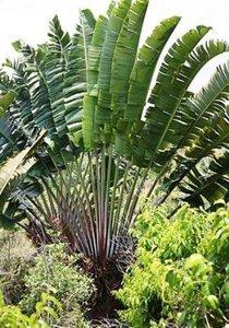 Red Traveller's Palm (Ravenala sp. 'Honkondambo')