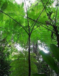 Lacy Tree Fern (Cyathea robertsiana)