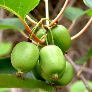 Mini Kiwi (Actinidia arguta 'Issai')