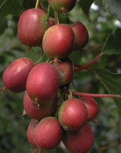 Red Kiwi (Actinidia purpurea)