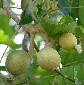 Kukui (Aleurites moluccana)