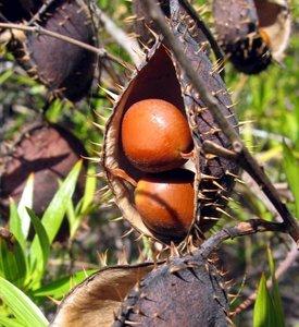 Yellow Nickernut (Caesalpinia ciliata)