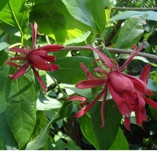 Spice Bush (Calycanthus floridus)