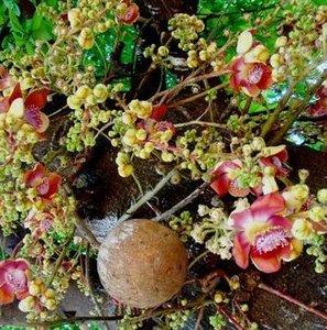 Cannonball Tree (Couroupita guianensis)
