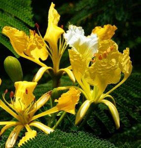 Yellow Flamboyant (Delonix regia var. flavida)