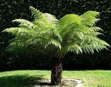 Tasmanian Tree Fern (Dicksonia antarctica)