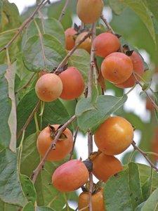American Persimmon (Diospyros virginiana)