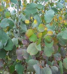 Mountain Swamp Gum (Eucalyptus camphora)