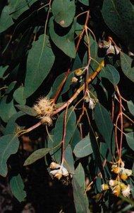 Morrisby's Gum (Eucalyptus morrisbyi)