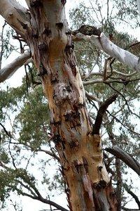 Candlebark Gum (Eucalyptus rubida)