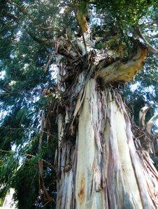 Manna Gum (Eucalyptus viminalis)
