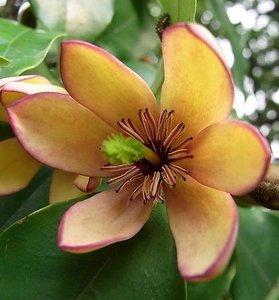 Banana Shrub (Magnolia figo)
