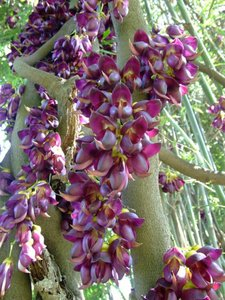 Velvet Bean (Mucuna sempervirens)