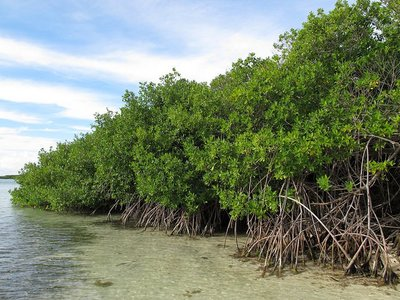Red Mangrove (Rhizophora mangle)