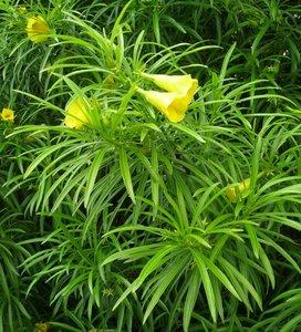 Yellow Oleander (Thevetia peruviana)