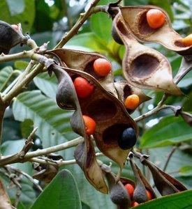 Peronia (Ormosia krugii)