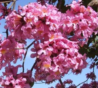 Pink Ipê (Handroanthus impetiginosus)