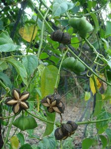 Sacha Inchi (Plukenetia volubilis)