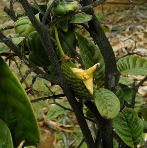 Annona conica