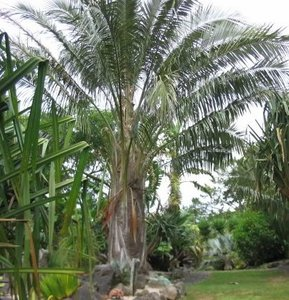 Bolivian Mountain Coconut (Parajubaea torallyi var. microcarpa)