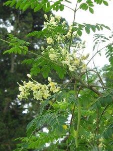 Moringa Tree (Moringa oleifera)