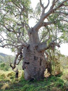 Australian Baobab (Adansonia gregorii)