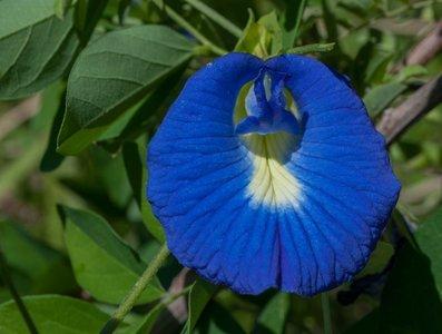 Butterfly Pea (Clitoria ternatea)