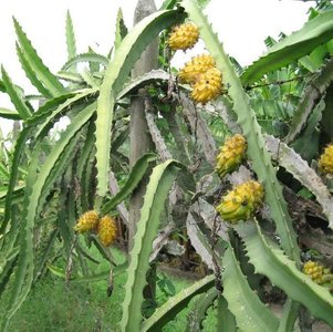 Yellow pitahaya (Hylocereus megalanthus)