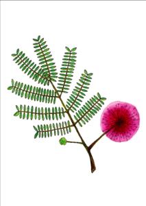 Postcard 'Persian Silk Tree'