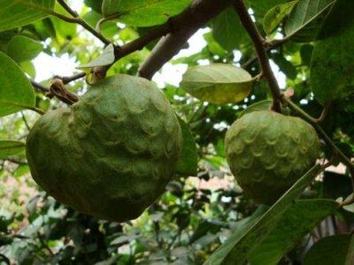 Chirimuya (Annona cherimola)