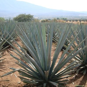 Tequila Agave (Agave tequilana)