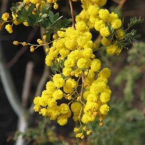 Mudgee acacia (Acacia spectabilis)