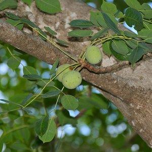 Marula (Sclerocarya birrea ssp. caffra)
