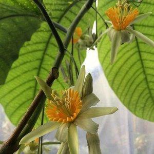 Tree Passion Flower (Passiflora macrophylla)
