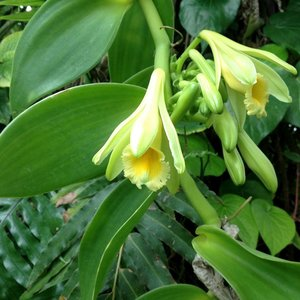 Vanilla Orchid (Vanilla planifolia)