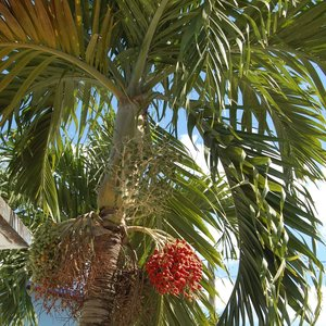 Manila Palm (Veitchia merrillii)