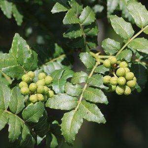 Japanese Pepper (Zanthoxylum piperitum)