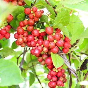 Five-flavour-fruit (Schisandra chinensis)