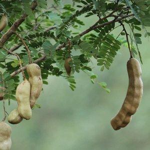 Tamarind (Tamarindus indica)