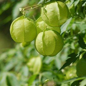 Balloon Plant (Cardiospermum halicacabum)