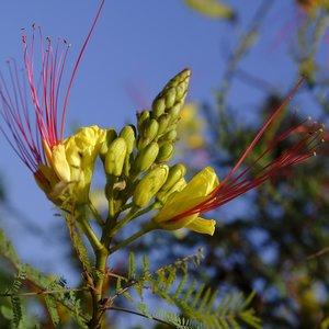 Desert Bird of Paradise (Caesalpinia gilliesii)