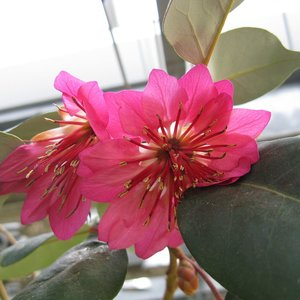 Hong Kong Rose (Rhodoleia championii)