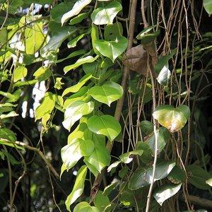 Javan Cucumber (Alsomitra macrocarpa)