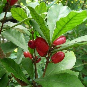 Miracle Fruit (Synsepalum dulcificum)