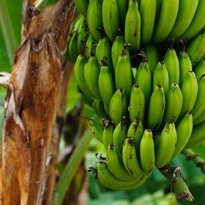 Plantain Banana (Musa x paradisiaca)