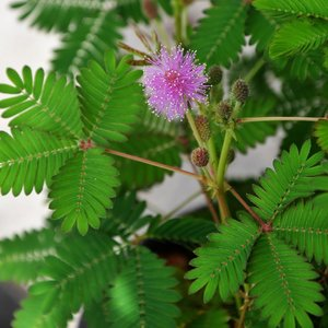 Touch-me-not Plant (Mimosa pudica)