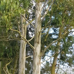 Snow Gum (Eucalyptus pauciflora ssp. niphophila)