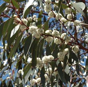 Snow Gum (Eucalyptus pauciflora ssp. pauciflora)
