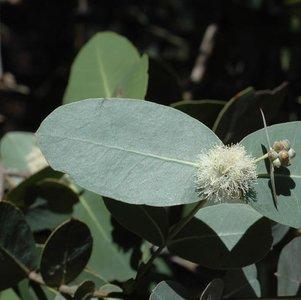 Omea Gum (Eucalyptus neglecta)